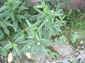 菊科植物:P2110375