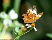 雙溪-老農夫生態農莊及虎豹潭的昆蟲:074A4008台灣黃斑蝶.JPG