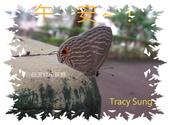 昆蟲問安卡-午安:午安!白波紋小灰蝶.jpg