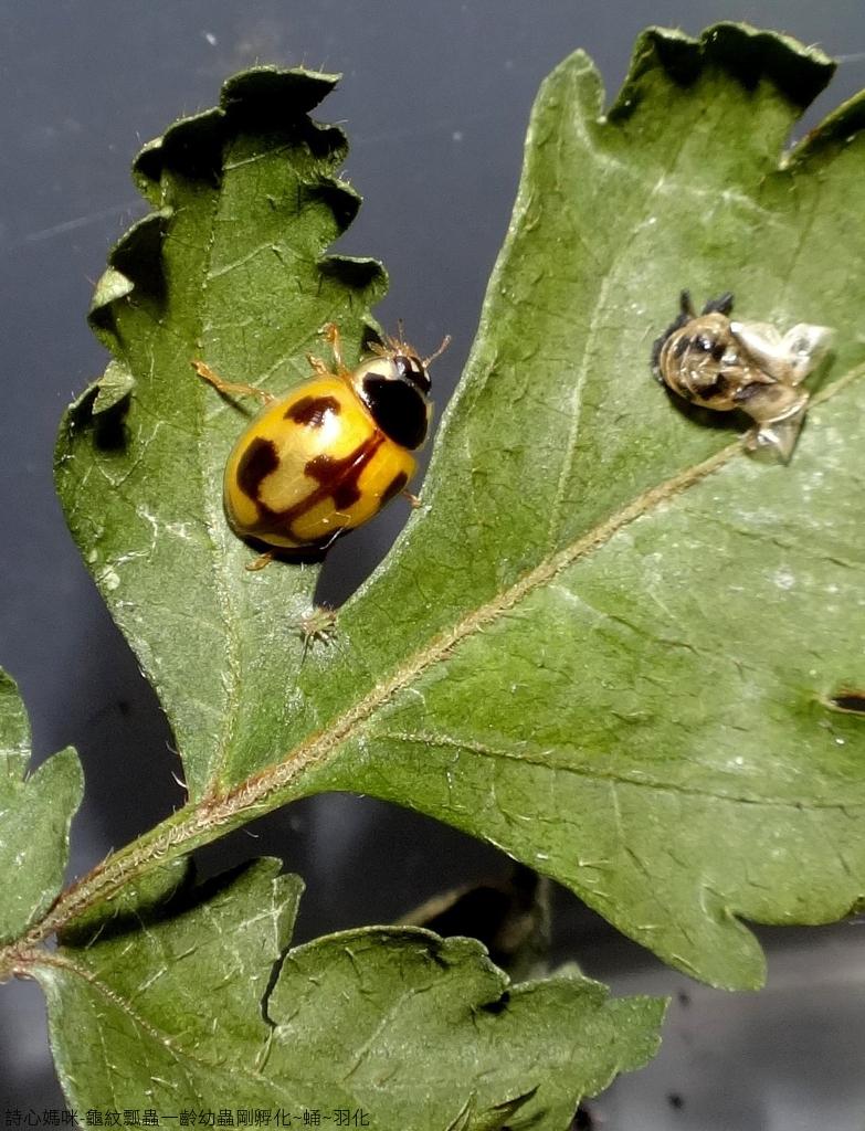 龜紋瓢蟲一齡幼蟲剛孵化~蛹~羽化:DSC06276.JPG