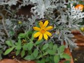 菊科植物:DSC00643.JPG