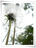 菊科植物:P1940916v
