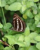 雙溪-老農夫生態農莊及虎豹潭的昆蟲:074A4036a.jpg
