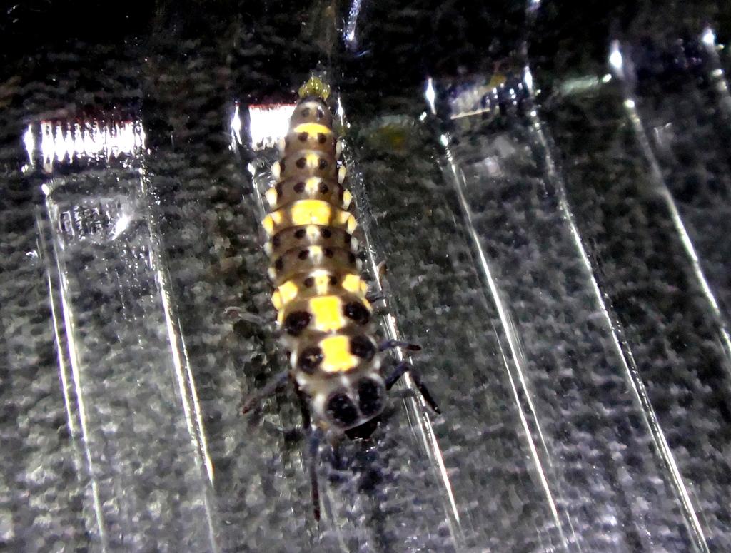 龜紋瓢蟲一齡幼蟲剛孵化~蛹~羽化:DSC05480.JPG