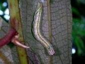 大雪山昆蟲與蜘蛛:DSC07870紫線黃舟蛾早齡幼蟲.JPG
