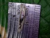 細扁食蚜蠅終齡幼蟲~化蛹~羽化:DSC06772身長1.4公分.JPG