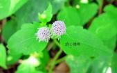 菊科植物:貓腥草淡紫花