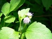 菊科植物:P2160244
