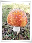 野生菇蕈天地 970810/971026日本北海道:毒蠅傘-北海道