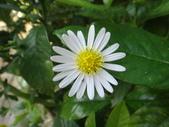 驚豔的花朵(白色系):島田氏雞兒腸白花