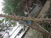 野菇蕈-復旦109~110年:DSC05444富士櫻樹幹.JPG