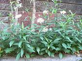菊科植物:P2110341