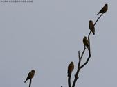 復旦社區稀有冬侯鳥-金翅雀:N74A4469.JPG
