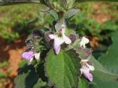 109年,復旦社區新的花草樹木:DSC03103淡紫色脣形花.JPG