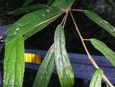 大雪山昆蟲與蜘蛛:DSC07824水麻.JPG