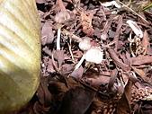 野生菇蕈天地 970810/971026日本北海道:P2220815 Lepiota sp. 環柄菇屬