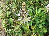 草本類植物:P2270492
