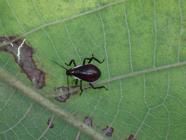 與椿象有約的小確幸(104年6月):DSC08977小厲椿象早齡若蟲.JPG