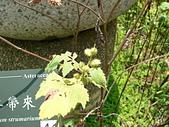 菊科植物:羊帶來綠瘦果