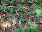 藍灰蝶(沖繩小灰蝶)的一生:DSC07338沖繩小灰蝶產卵.JPG
