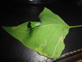 細蛾幼蟲捲葉~蛹~羽化 (三條白斑紋):DSC06061烏桕捲葉細蛾幼蟲.JPG