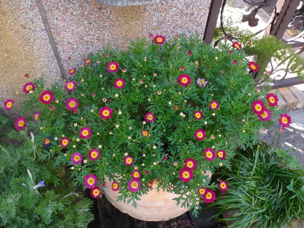 復旦社區園藝花種:DSC03207瑪格麗特.JPG