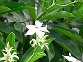 驚豔的花朵(白色系):海檬果五瓣白花