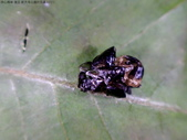 復旦-新天母公園的昆蟲107/1:DSC09884空蛹.JPG