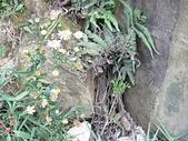 菊科植物:P2130797