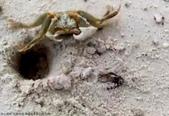 馬爾地夫-瑞僖敦渡假村的生物:1060713螃蟹.jpg