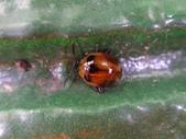 108~109年復旦社區昆蟲:DSC01957黃斑圓葉蚤(變異).JPG