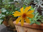 菊科植物:DSC00645短毛金雞菊.JPG