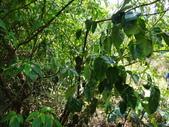 雙溪-老農夫生態農莊及虎豹潭的植物:DSC03540台灣牛嬭菜.JPG