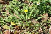 菊科植物:西洋蒲公英