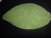 斜紋夜蛾卵~幼蟲~蛹~成蛾羽化:DSC05709馬拉巴栗葉背.JPG