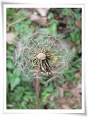菊科植物:褐色瘦果與白色冠毛