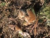 野菇蕈-復旦109~110年:IMG_5174硬菇的幼菌.JPG