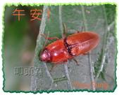 昆蟲問安卡-午安:午安!叩頭蟲 (橘紅色).jpg