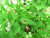 菊科植物:P2160268