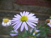 菊科植物:P2110357
