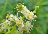 驚豔的花朵(白色系):太平洋榅桲 花朵