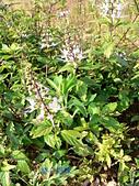 草本類植物:貓鬚草花序