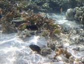 馬爾地夫-印度洋的淺海生物:P7120429a.jpg