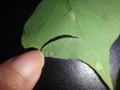 細蛾幼蟲捲葉~蛹~羽化 (三條白斑紋):DSC05928.JPG