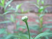 菊科植物:P2110373