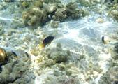 馬爾地夫-印度洋的淺海生物:P7120432a.jpg