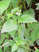 菊科植物:貓腥草植株