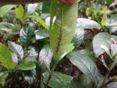 龜紋瓢蟲一齡幼蟲剛孵化~蛹~羽化:DSC04819山黃梔蚜蟲.JPG