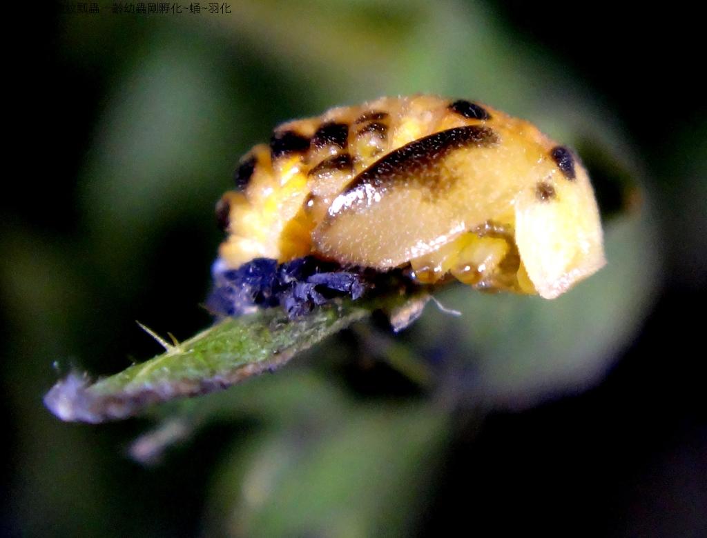 龜紋瓢蟲一齡幼蟲剛孵化~蛹~羽化:DSC05779.JPG