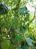 雙溪-老農夫生態農莊及虎豹潭的植物:DSC03545.JPG